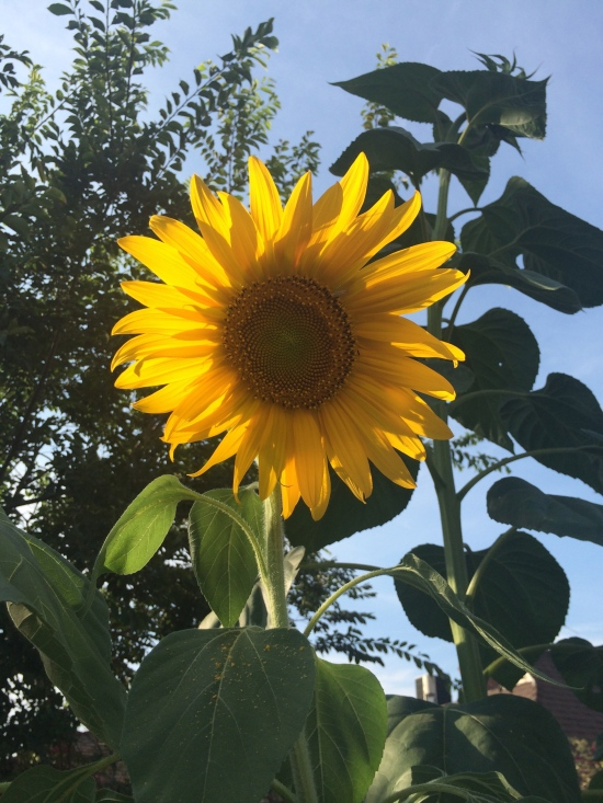 The towering Sunflower is one of my favorite plants. So much life comes out of just one little seeds. It gives back in return its beautiful sunshine color and hundreds of seeds to replant and eat.